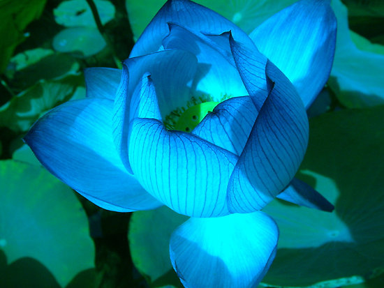 half open lotus